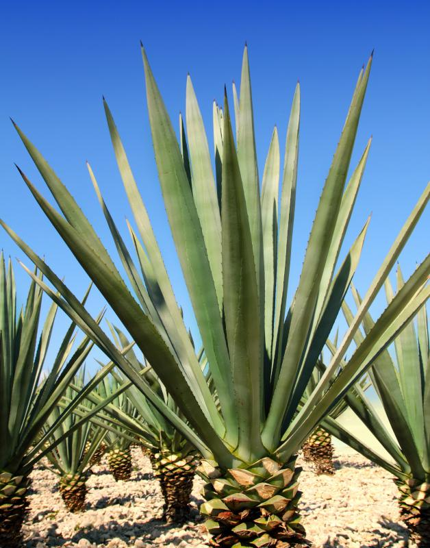 Nectar from the agave plant is a possible alternative to sugar.