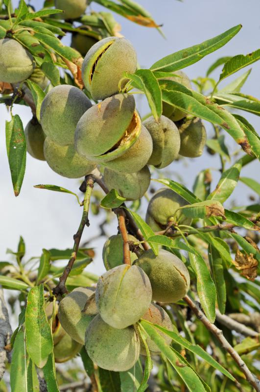 Almonds on an almond tree.