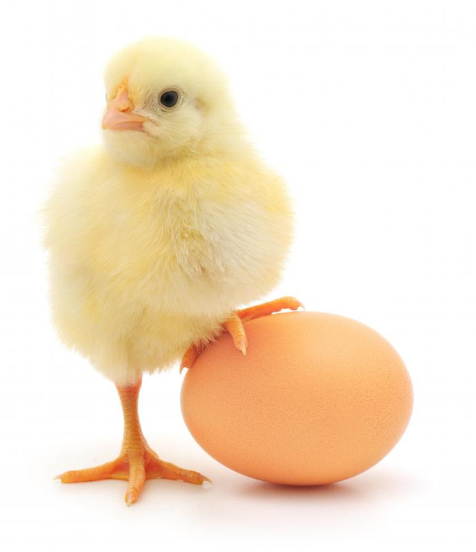 Baby chick and an egg.