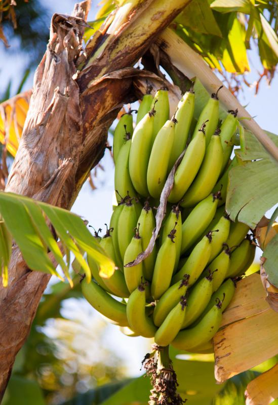 The Cavendish banana is the most widely grown banana cultivar in the world.