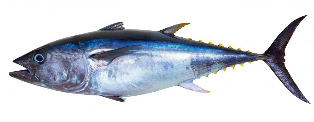 Some species of tuna -- which provides the popular fish for sushi and sashimi -- can grow more than six feet long and weigh hundreds of pounds.