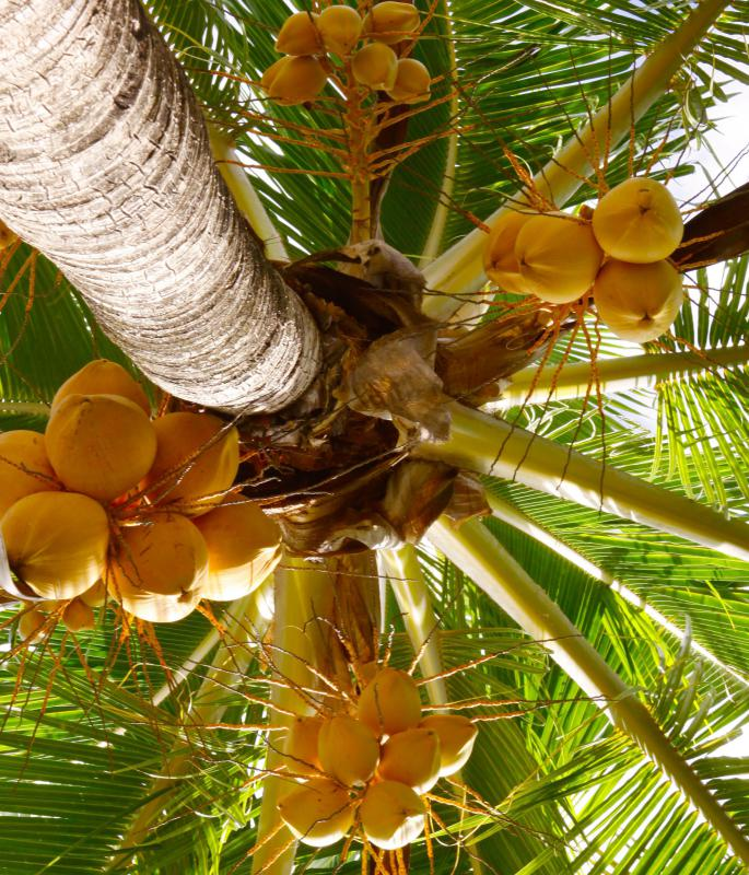 Coconuts are the fruit of the coconut tree.
