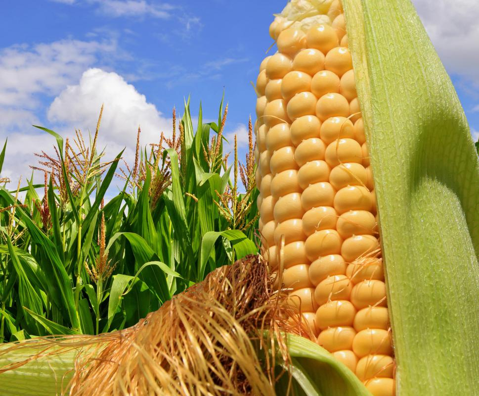 Corn is used to make high fructose corn syrup.