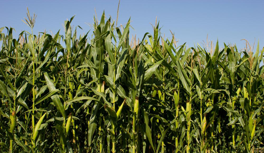 Corn has been cultivated for over 10,000 years.