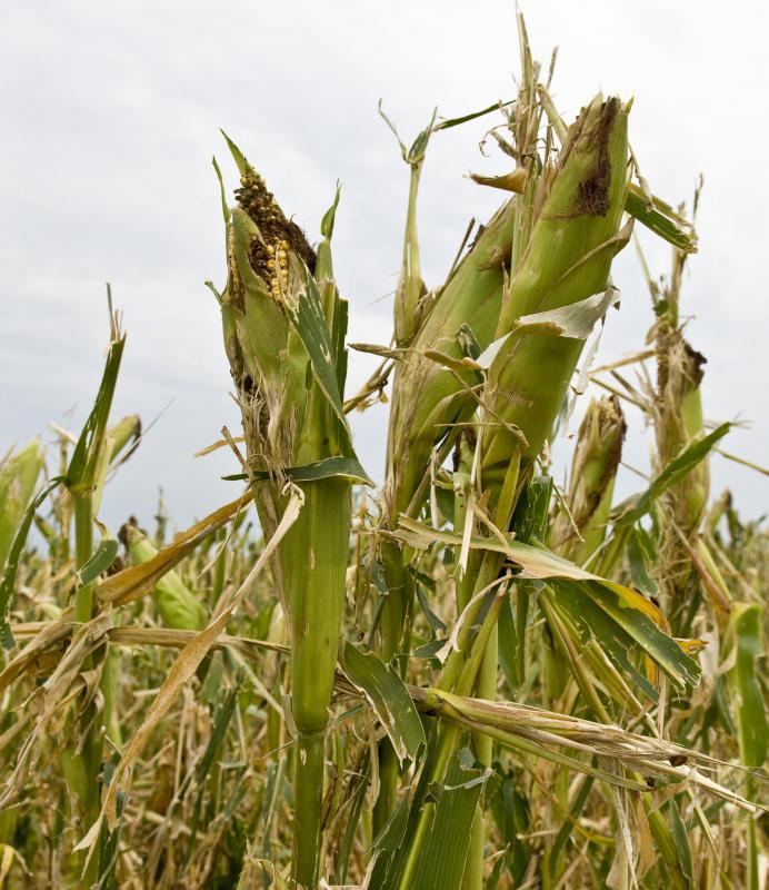 Depending on the cultivar, corn stalks con grown anywhere from 3 feet to 20 feet tall.