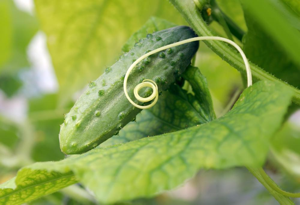 Cucumber growing on a vine.