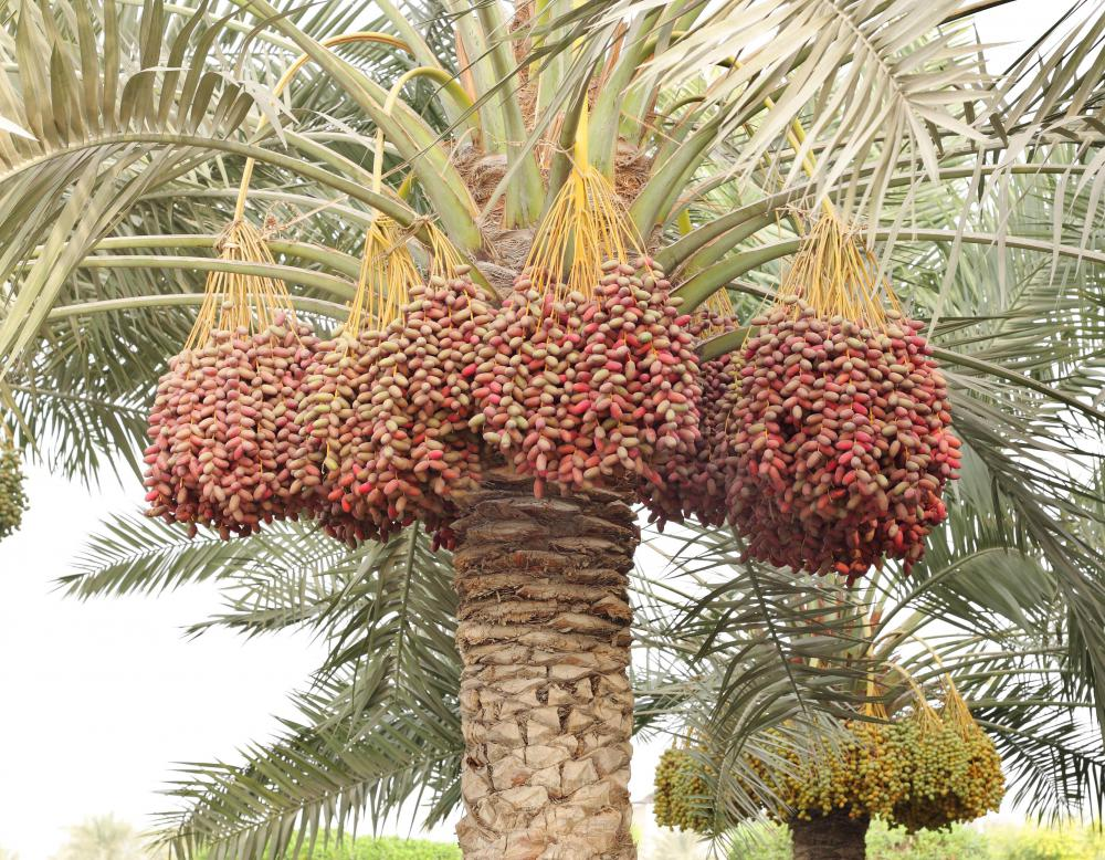 Medjool dates growing on a date palm.