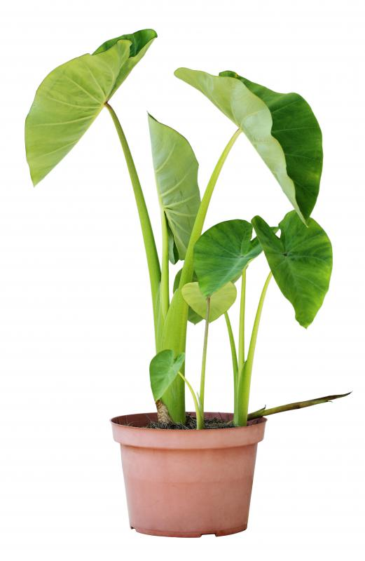 Because their broad leaves stand straight up from the stalks, bac ha is sometimes referred to as upright elephant ears.
