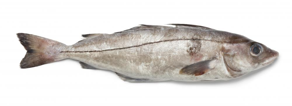 Haddock fish have dark black lateral lines that run from the head to the tail of their bodies.