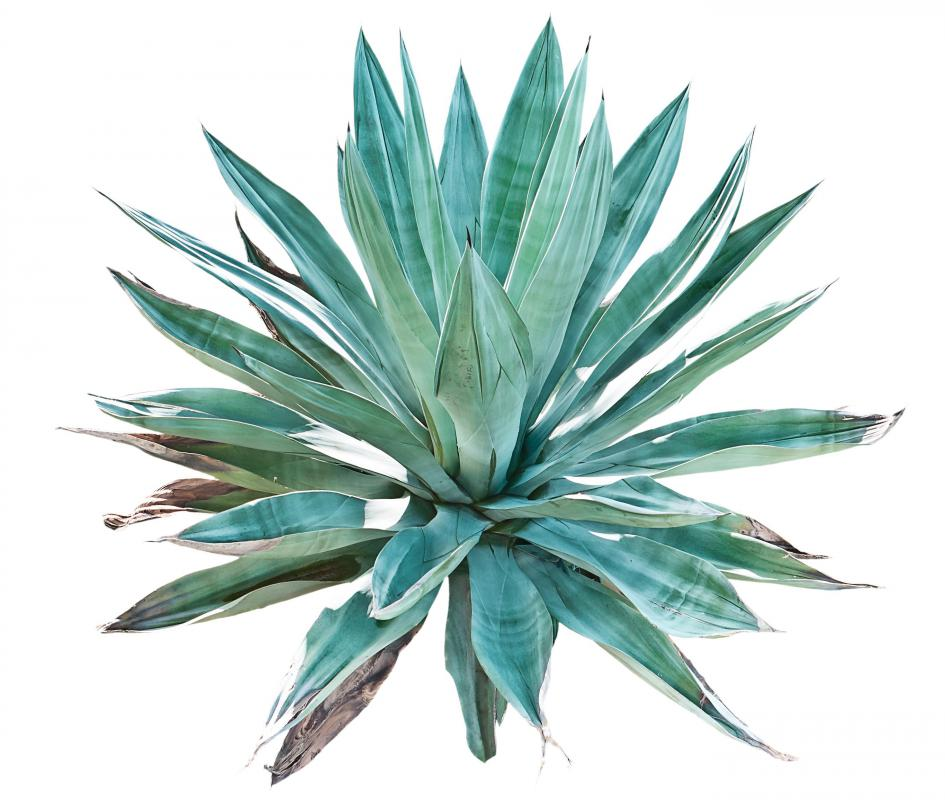 Agave nectar is a popular natural sweetener.