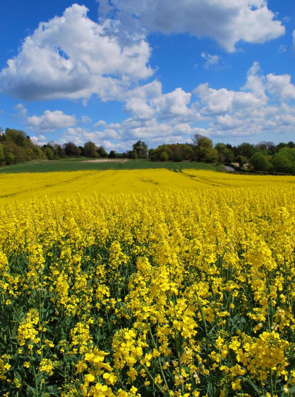 A large field of rapeseed, which is used to make canola oil.