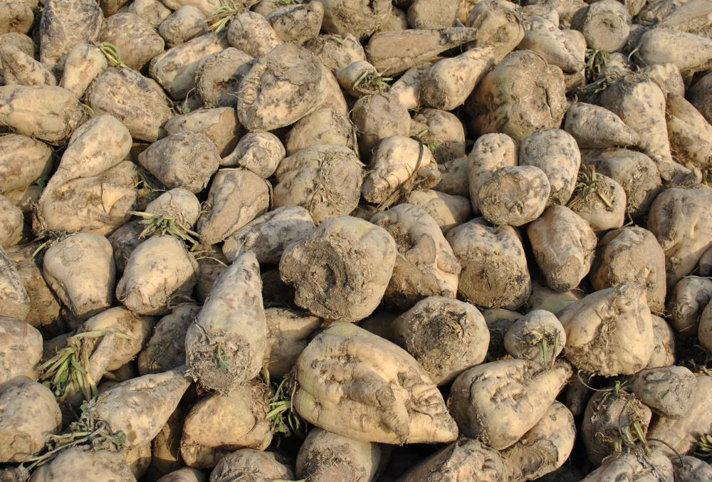 Sugar beets freshly harvested.