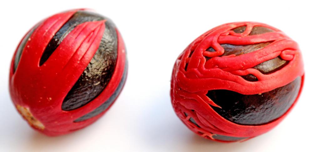 The waxy red covering on nutmeg seeds is used to make the spice mace.