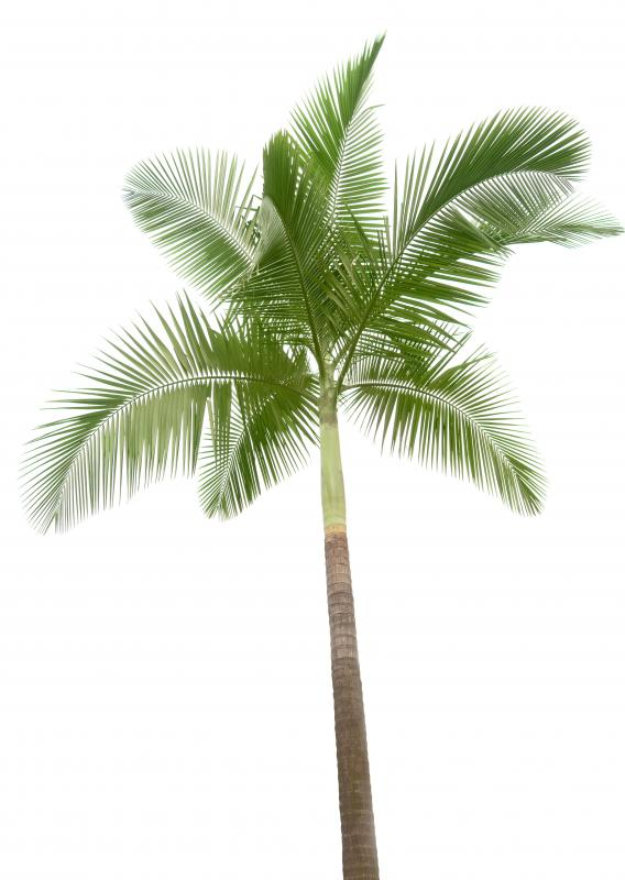 A palm tree, which produces palm hearts.