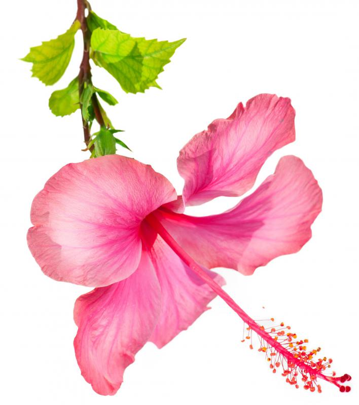 Hibiscus flowers are commonly used in agua fresca.