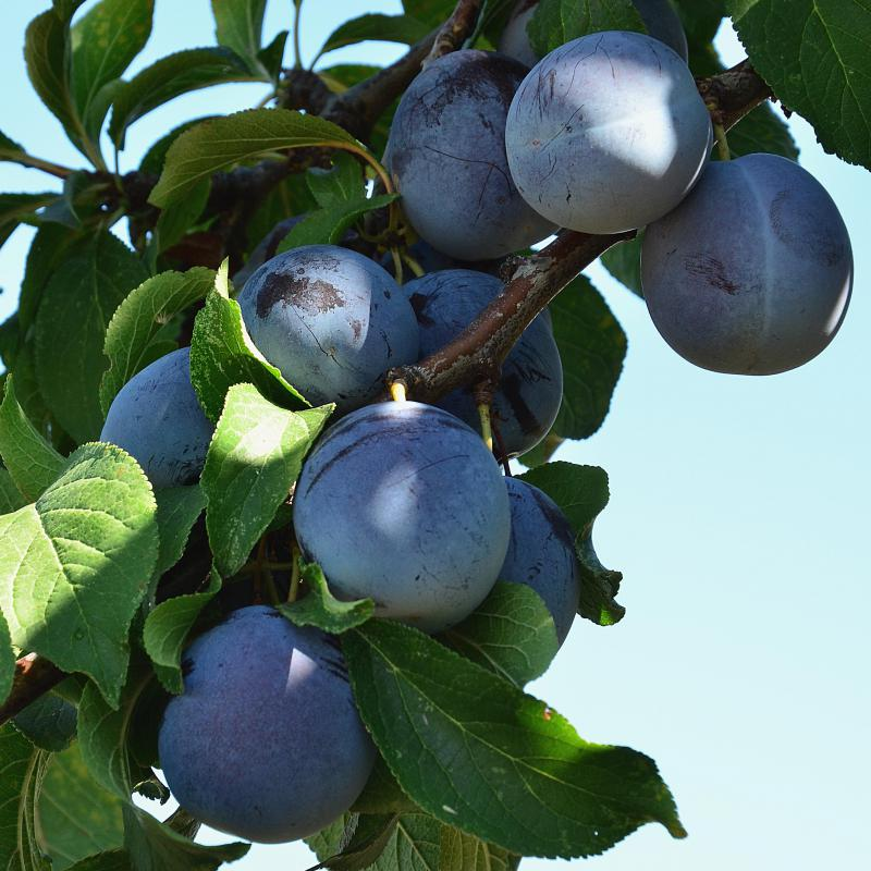 Climacteric fruits like plums will ripen off the tree.