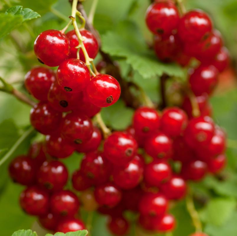 Ripe red currants.