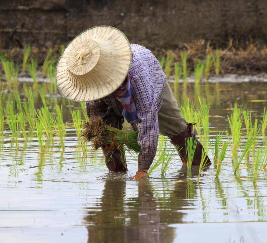 Paddy rice can be harvested directly from paddies.