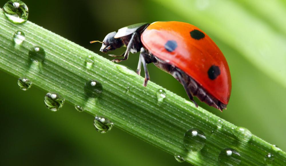 Sorrel is prone to mite and aphid infestations, but ladybugs can help.