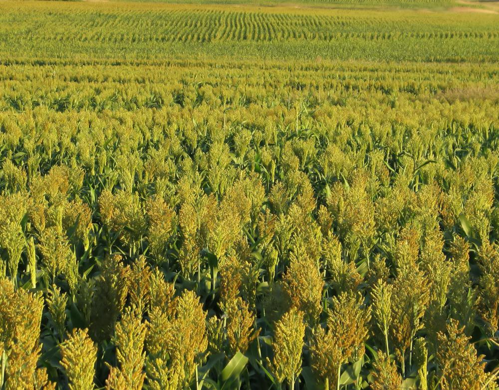 Sorghum can withstand drought.