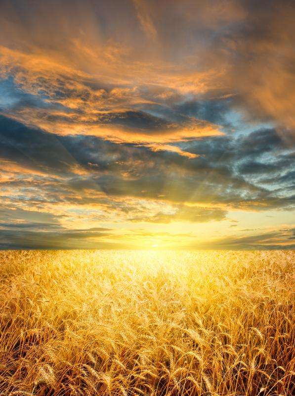 Sunset over a wheat field.