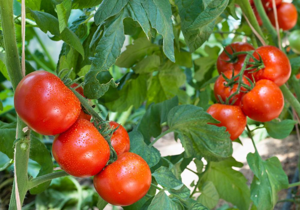 Tomatoes lose their volume when cooked down for tomato sauce.