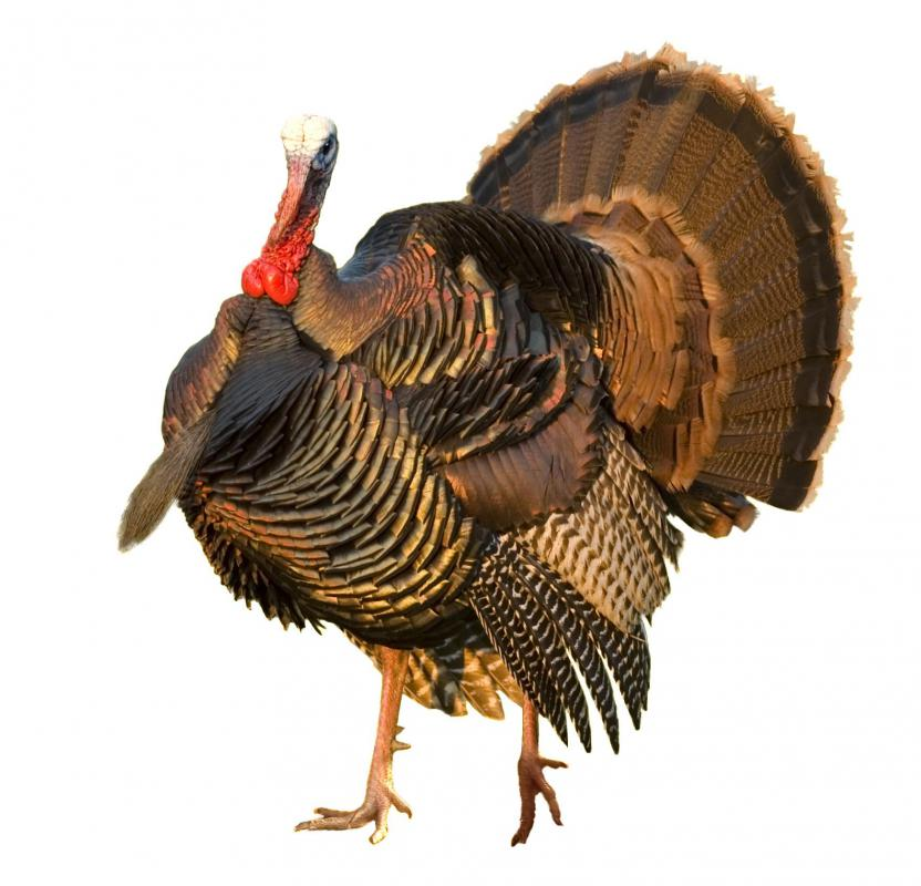 A turkey is considered a kosher animal.